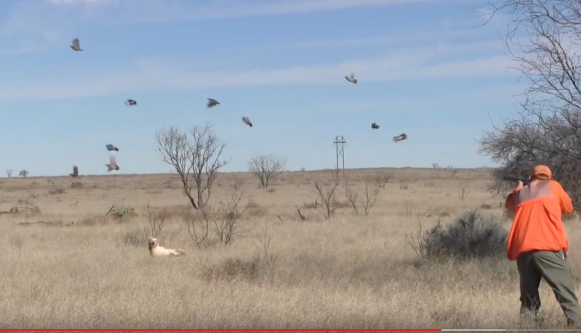 Texas quail hunting 4r ranch